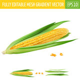 Corn on white background. Vector illustration. Corn realistic isolated illustration on white background Stock Image