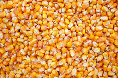 Corn yield Royalty Free Stock Image