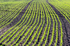 Corn young plants in a rows on cultivated farmland Royalty Free Stock Image