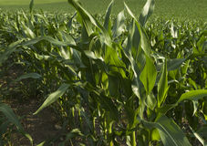 Corn2 Stock Image