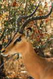Springbok in Etosha National Park Royalty Free Stock Images