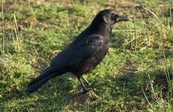 Cornacchia nera - corone di corvo Immagine Stock Libera da Diritti