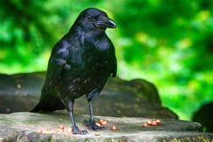 Cornacchia nera, Dunfermline, Scozia Fotografia Stock