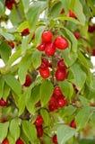 Cornalina Cherry Plant Imagens de Stock Royalty Free