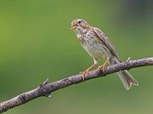 A Cornbunting perched at its favourite stick Stock Photo