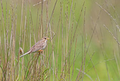 A Cornbunting perched at its favourite stick Stock Images