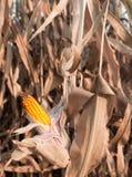 corncob royaltyfri bild