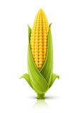Corncob Royalty Free Stock Image