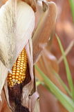 Corncob Photo stock