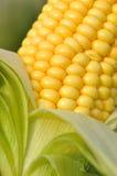 corncob lizenzfreie stockbilder