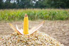 Corncob on chopped corn Stock Image