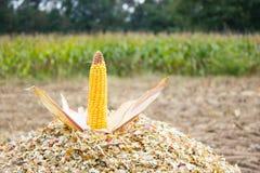 Corncob on chopped corn Stock Image