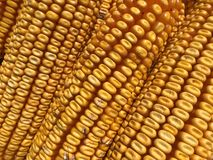 Corncob Stock Photo