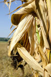 Corncob on a corn plant Royalty Free Stock Image