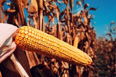 Corncob in cultivated field. Is ready for harvesting stock photo