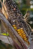 Corncob detail partly overripe partly fresh royalty free stock images