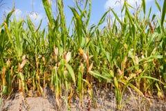 Corncob green in a corn field Stock Image