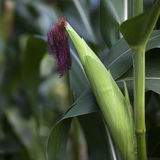 Corncob growing in the field Stock Images