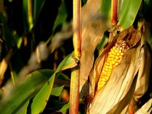 Corncob in its field before harvests stock images
