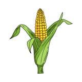 Corncob with leaf on white background. Vector illustration Stock Images