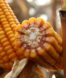 Corncob of maize - Zea Mays Stock Image