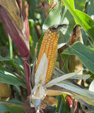 Corncob on plant Royalty Free Stock Photo
