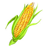 Corncob vector illustration  hand drawn  painted Royalty Free Stock Images