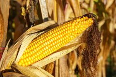 Corncob, Zea mays. Fruits of autumn ready to reap Royalty Free Stock Images