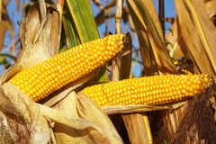 Corncob, Zea mays. Fruits of autumn ready to reap Stock Photos
