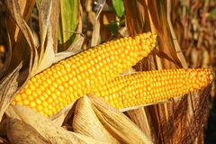 Corncob, Zea mays. Fruits of autumn ready to reap Stock Photo