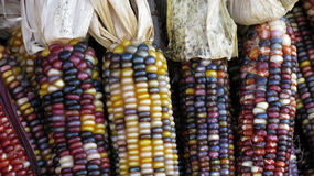 Corncobs. With different colors of grain Stock Images