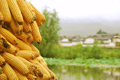 Corncobs. View of a pile of corncobs over a soft village background Royalty Free Stock Photography