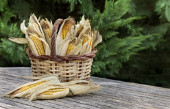 Corncobs in basket Royalty Free Stock Image