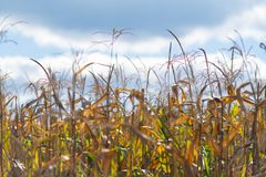 Corncobs drying on the plant in a field stock photo