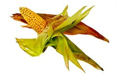 Corncobs in husk. Stock Photos