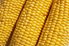 Corncobs lying side by side. Close up image. Fresh corncobs lying side by side. Close up stock image royalty free stock images