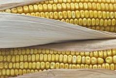 Corncobs to make pop corn. Stock Image