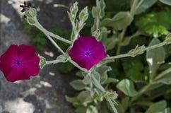 Corncockle, gith lub Agrostemma githago, często spotykamy dzikiego purpura kwiatu Zdjęcia Royalty Free
