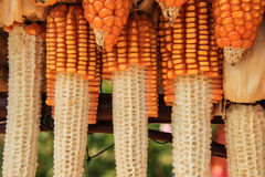 Corncop. Rows of corncop for food or decorate royalty free stock photography