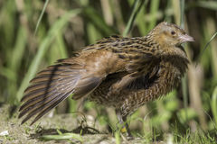 Corncrake bird with outstretched wing. The corn crake, corncrake or landrail (Crex crex) is a bird in the rail family. Here shown in profile with outstretched Stock Photography