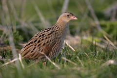 Corncrake, Crex crex Stock Photos