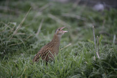Corncrake, Crex crex Stock Photography