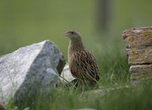 Corncrake, Crex crex Royalty Free Stock Images