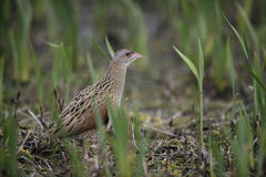Corncrake, Crex crex Royalty Free Stock Photo