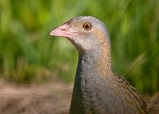 Corncrake head portrait in the field from short distance royalty free stock image