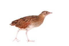 Corncrake or Landrail, Crex crex, on white Stock Photography