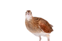 Corncrake or Landrail, Crex crex, on white Royalty Free Stock Photography