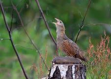 Corncrake sings near a stump in rain stock images