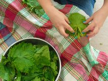 Corned vine leaves preparation royalty free stock image