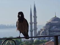 Corneille à Istanbul image stock